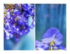 Spring Blues (red stilletto) Tags: oakdenewinery oceangrove wallington garden gardens blue purple flower flowers pansy famousflickrfive colourpalettes rain waterdroplets