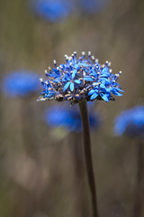 Blue pincushion (Michael_Whitehead) Tags: sunburygrassland brunoniaaustralis brunonia pin cushion flower blue macro