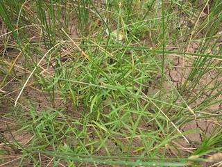 Alternanthera denticulata plant14 CWS
