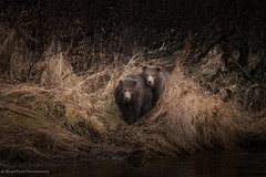 The Twins (rishaisomphotography) Tags: twins cubs babyanimals bear brownbear grizzly mammal uswildlife usfws knwr nature naturephotographer wild wildlife wildlifephotographer kodiak deepnorth alaska predator carnivore omnivore apex grass outdoors river water waiting furry fuzzy cute