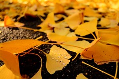 crying fall (il ' aria) Tags: fall autunno leaf foglie foglia fogliegialle fogliecadute anto mantodifoglie mantoautunnale mantogiallo rugiada