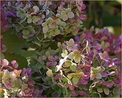 Hortensia ( Annieta ) Tags: bej tuin jarden garden annieta oktober 2016 sonya6000 ngc