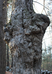 Old Gnarled Tree (Kris_wl) Tags: tree faces gnarly deformed strange unusual weird old pareidolia ghost newengland newhampshire