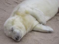 The 'Aah' Factor ! (mr_snipsnap) Tags: grey seal baby pup nature wildlife mammal animal