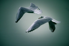""" Fly "" #Lelystad# (Kalbonsai) Tags: meeuwen lelystad holland outdoorphotography bird nikon 55300mm flightsot d5100 clouds birds"
