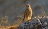 kestrel (Zahoor-Salmi) Tags: zahoor salmi wildlife nature tv photo landscape birds water kastral pakistan animal