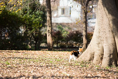 5052016/11/26 (Natsuki_y) Tags: cats cat straycat canon 70200mm tokyo snap autum
