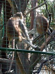 IMG_0373 (wildhareuk) Tags: fuerteventura fuerteventura2003 monkey oasispark powershotpro90is zoo animal lalajita