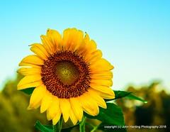 Summer Daydreams (T i s d a l e) Tags: tisdale summerdaydream sunflower vangogh summer july 2016 easternnc