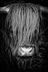 Hear No Evil, See No Evil (Alfred Grupstra Photography) Tags: bw cow blackandwhite lowkey portrait deweere noordholland nederland nl