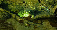frog (bilal gldoan) Tags: frog kurbaa animal autdoor animals water waterfront wood wild white kamuflaj trkiye thegreen tree thenature ta outdoor original orjinal sea lake life gl green maggie nikon nikonp600 natural nature nikoncoolpixp600 night hayvan hayat hava