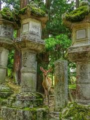 Le p tit faon de Nara (schneider_sebastien) Tags: serene nara japan nature asie asia japon zen hx400v sony zeiss