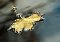 Afloat (Karen_Chappell) Tags: leaf float floating nature macro water surfacetension yellow blue reflection reflections bowringpark pond liquid stjohns fall autumn canada maple mapleleaf