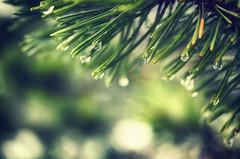 Freezing Rain (flashfix) Tags: november252016 2016 2016inphotos nikond7000 nikon ottawa ontario canada 40mm macro pine needles rain bokeh nature green blue mothernature 2minutemacro
