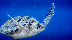 02092013-IMG_0191 (christophecavelli) Tags: scale turtle reptil scuba diving ocean