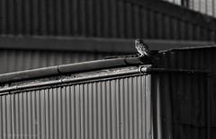 Little Owl, Walnut Tree Farm. (reynardfox) Tags: owls littleowls owl birdofprey bird birdwatching ornithology littleowl farmlandwildlife farm farmland floraandfauna fauna birdsofprey britishbirds britishwildlife europeanwildlife wildlifephotographers suffolkwildlifetrust wildlifetrusts norfolk