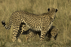 In the shadow of mom (quiinc) Tags: review africa kenya safari maranorth masaimara cheetah cheetahcub