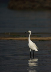 Egret in the mirror pond (iorus and bela) Tags: bela iorus japan 2016 holiday vakantie hiroshima miyajima itsukushima shrine bird egret white