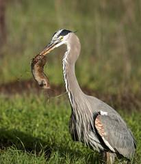 Great Blue Heron hunting gophers (mjbolte) Tags: birds greatblueheronandgopher ucsantacruz