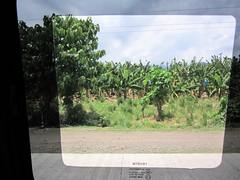BANANA TREES (PINOY PHOTOGRAPHER) Tags: mabini davao del sur banana tree mindanao philippines asia world