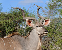 Kudu Portrait (Petri_) Tags: kudu bull male antelope wildlife krugernationalpark southafrica nikond300