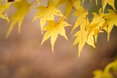 Momiji - Japanese Maple / Nara / Japan (Kashinkoji) Tags: sony a77 slt momiji maple autumn leaves bokeh nature outdoor