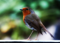 Robin (Belinda Fewings (3 million views. Thank You)) Tags: feathers bokeh fence green red nationalgeographicwildlife bbcspringwatch outdoor panasoniclumixdmc belindafewings be dec december robin nat wildlife rspb autumn autumnwatch beautiful bournemouth dorset seasonal tiny cheeky
