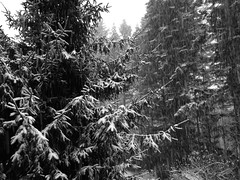 Pouring snow! (shireye) Tags: snow pouringsnow myyard bc britishcolumbia comoxvalley iphone5c apple trees