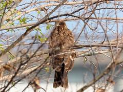 Black kite (トビ) (Greg Peterson in Japan) Tags: shigaprefecture japan jpn moriyama shiga blackkites fall rivers wildlife yasugawa birds season