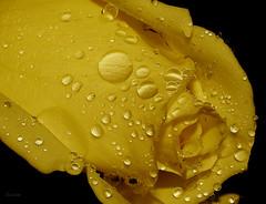 Sempre do mesmo jardim... (Zéza Lemos) Tags: rosas rose rosa roseiras portugal algarve água gotas drops drop pétalas planta plantas jardim jardins vilamoura