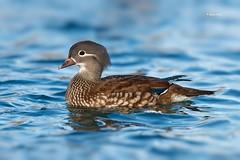 Mandarin Duck (Hen) (Mike Veltri) Tags: mikeveltri hen manderin duck birds avian nature female ontario canada