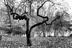 My Favorite Tree _ bw (Joe Josephs: 2,861,655 views - thank you) Tags: centralpark joejosephs nyc newyorkcity copyrightjoejosephs landscapephotography outdoorphotography blackandwhitephotography blackandwhite ny usa fineartphotography fineartprints travelphotography travel flora trees urbanparks parkfallautumnfall cityparks