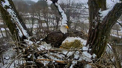 Let it snow.... (heights.18145) Tags: baldeagles neflcam ccncby bigeyes decoraheagles