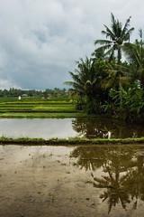 Arrozales en los alrededores de Ubud (fns-k) Tags: agricultura arroz asia bali campo campos cereales cultivos espaa europa gusto indonesia islasbaleares mallorca palmera reflejo sentidos planta rbol