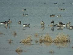 gansos en la laguna (corbetapalentino) Tags: laguna de la nava