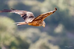 Milan espagnol (stephanegachet) Tags: oiseau milan stephanegachet gachet animal bird