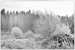 Eisig im Gegenlicht (Finn-Foto) Tags: nikfilter silverefexpro2 afnikkor85mmf18d hyvink uusimaa finnland nikond700 nikoncnx2 fin blackandwhiteonly yourbestoftoday