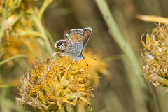 Western Pygmy Blue (Brephidium exilis), Bodie, a Ghost Town, California (kmalone98) Tags: westernpygmyblue bodieca brephidiumexilis kathymaloneflickr