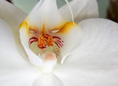 Orchid or Alien? But it's alive! (Explore, December 23, 2016) (M. Carpentier) Tags: macromondays itsalive orchidée orchid blanc white fleur flower masque mask beauty beauté jaune yellow