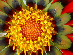 Flower Face (Shaid Photography) Tags: red orange plants black color detail macro nature beautiful beauty yellow wow garden photography petals amazing cool interesting perfect colorful pretty zoom geometry gorgeous sony awesome peaceful cybershot simplicity stunning strength relaxation upclose incredible breathtaking perfection naturalart macrophotography macrography superzoom jawdropping ultrazoom dschx50v
