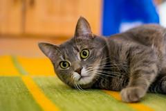 Luna 2 (Mad_Mazel) Tags: cats katzen