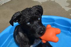 (JessieGarcia) Tags: blue summer portrait dog wet puppy eyes lab husky colorful labrador bright blueeyes siberianhusky hotday wetdog huskador