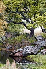 Springtime Live Oak