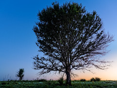 The tree on the hill at dawn (Ed Rosack) Tags: blue sky usa tree green grass sunrise landscape dawn florida hills clear explore clermont centralflorida lakelouisastatepark edrosack