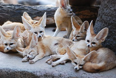 fennec fox (floridapfe) Tags: animal zoo korea fox fennec everland fennecfox