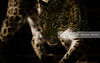 The leopard (Daniel Hernanz Ramos) Tags: pictures animal amazing eyes flickr photographers best leopard angry animalspictures leopardleopard picturesflickr artisticanimalpictures copyrightdanihernanz amazinganimalpictures agressiveanimalpictures animaldetailpictures animalsfacetoface scarybest