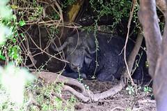 Botswana (Gedsman) Tags: africa park elephant game nature river buffalo eagle wildlife national rhino zebra crocodile giraffe hippo baboon impala namibia chobe eland hornbill springbok mongoose wildebeest warthog waterbuck kudu hartebeest chobenationalpark khamarhinosanctuary elephantsands