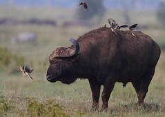 No longer welcome! (Rainbirder) Tags: kenya capebuffalo lakenakuru synceruscaffer africanbuffalo redbilledoxpecker buphaguserythrorhynchus rainbirder