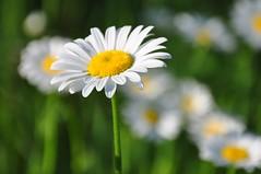 legion (christiaan_25) Tags: flowers light sunlight white green nature face sunshine yellow daisies outside outdoors petals compound stem bright bokeh explore daisy wildflowers 495 oxeyedaisy leucanthemumvulgare abigfave jun42014