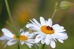 Summer! Daisy and her resident. (Margo, just Margo ...) Tags: favescontestwinner thechallengefactory fotocompetition fotocompetitionbronze